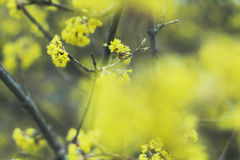 Spring view. Beautiful blooming tree with yellow flowers Stock Photography