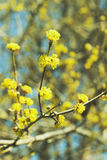Spring view. Beautiful blooming tree with yellow flowers Stock Photo