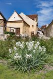 Spring view of the Rasnov citadel inner countryard, in Brasov county (Romania), with blooming white irises in the foreground and stock images