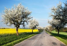 Spring view of road with alley of apple tree Stock Photo
