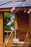 Spring villa. The pink peach blossoms are blooming in front of the villa Royalty Free Stock Photos