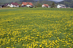 Spring in the village. Houses in the foothills and flowering meadow full of dandelions Stock Photos