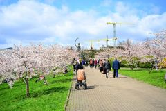 Spring in Vilnius city with sakura blossom Royalty Free Stock Photography