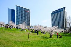 Spring in Vilnius city with sakura blossom Stock Image