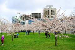 Spring in Vilnius city with sakura blossom Royalty Free Stock Images