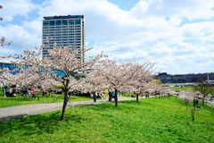 Spring in Vilnius city with sakura blossom Stock Images