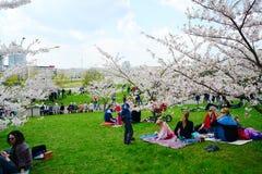 Spring in Vilnius city with sakura blossom Royalty Free Stock Photo
