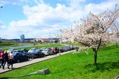 Spring in Vilnius city with sakura blossom Stock Image