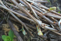 Spring vine roots 19620 Royalty Free Stock Image