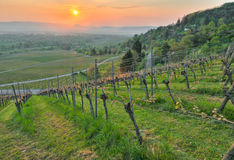 Spring in a vineyard. Sunrise in spring in a wine growing region royalty free stock images