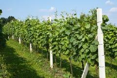 Spring vineyard royalty free stock photos