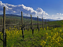Spring in the vineyard. Spring day in a beautiful italian vineyard Royalty Free Stock Photo