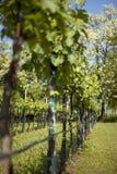 Spring vineyard. Italian Cabernet vineyard in spring (shallow DOF royalty free stock image