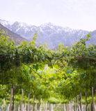 Spring Vineyard, Atacama Desert in the Coquimbo region, Chile royalty free stock images