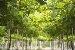 Free Spring Vineyard, Atacama Desert In The Coquimbo Region, Chile Stock Photography - 61240992