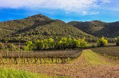 Spring vineyard in Catalonia (Spain). Royalty Free Stock Photos