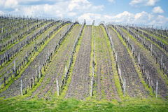 Spring Vineyard. Vineyard in Eger Hungary during the spring season Royalty Free Stock Photos