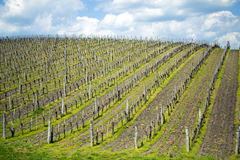 Spring Vineyard. Vineyard in Eger Hungary during the spring season Royalty Free Stock Photo