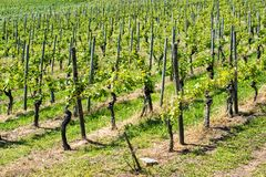 Spring Vineyard Rows Royalty Free Stock Photos