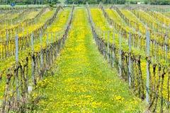 Spring vineyard. Southern Moravia, Czech Republic Royalty Free Stock Image