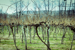 Spring vineyard Stock Photography