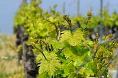 Spring vineyard Royalty Free Stock Photo