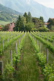 Spring vineyards in Trento, Northern Italy Stock Photo
