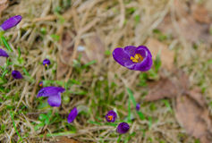 Spring violet crocus are ready for blossom Stock Photo