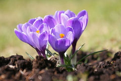 Spring, violet crocuses. Royalty Free Stock Photography