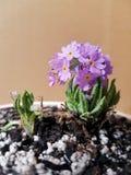 Spring Violet flower  blossom on pot. Flowers violet spring          bloom blossom pot stock image