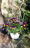 Spring violet flowers in hanging pot Stock Image