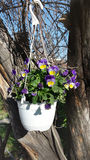 Spring violet flowers in hanging white pot Stock Photos