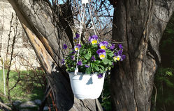 Spring violet flowers in hanging white pot Royalty Free Stock Photography