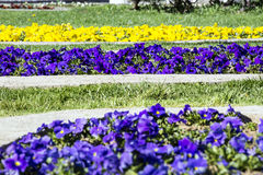 Spring violet flowers in the park Royalty Free Stock Photo