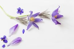 Spring violet flowers on white background. Spring violet flowers on a white background Royalty Free Stock Photos