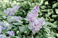 Spring violet lilac in the spring garden Royalty Free Stock Images