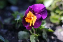 Spring violet, small tenderness of a huge forest. royalty free stock images