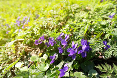 Spring violets Royalty Free Stock Photos