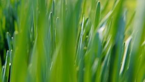 Spring wakening plant fresh green grass closeup. Spring wakening of plants. Fresh juicy green grass closeup. Camera moving through stock video footage