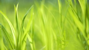 Spring wakening plant fresh green grass closeup. Spring wakening of plants. Fresh juicy green grass closeup. Camera moving through stock footage