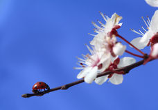 Spring walk. Ladybug walking on a flowering cherry-branch Stock Images