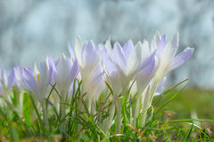 Spring wallpaper or background with gentle pastel blue crocuses Stock Photos
