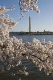 Spring in Washington. Washington Monument with cherry blossums stock photography