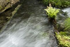 Spring water and fern. Ikeyama-suigen spring water flowing beside green fern in Kumamoto Royalty Free Stock Photo