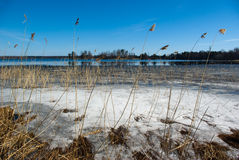 Spring water landscape. Forest lake in early spring with reed on foreground Royalty Free Stock Images