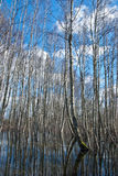 Spring water in wild birches forest Royalty Free Stock Photography