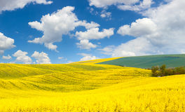 Spring waves hills  landscape of colorful fields Royalty Free Stock Image