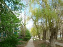 Spring. Weeping willow began to produce leaves of pale. Green color. In the Park the grass blossoms. A bright Sunny spring sun Stock Image