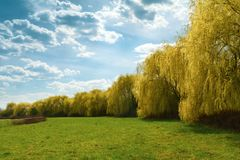 Spring weeping willow trees in park. Spring background. Copy space stock image