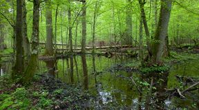 Spring wet deciduous forest with standing water. Springtime wet deciduous forest with standing water and dead trees partly declined Royalty Free Stock Photos